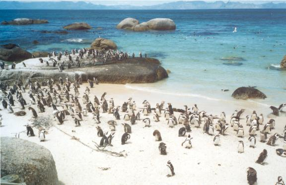The 'jackass' or Cape penguins.